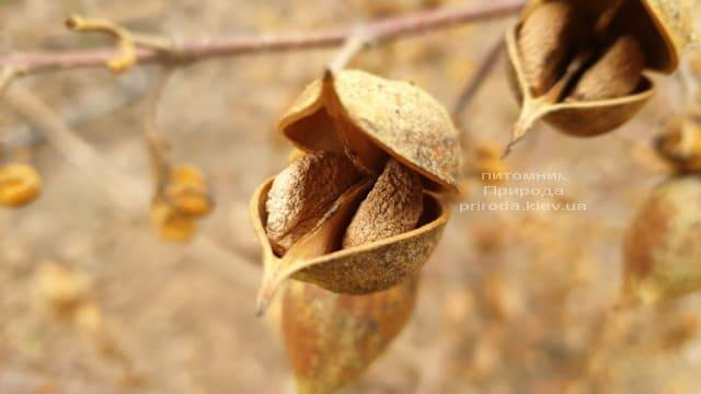 Павловнія повстяна (Paulownia tomentosa) ФОТО Розплідник рослин Природа (7)