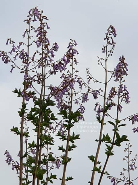 Павловнія повстяна (Paulownia tomentosa) ФОТО Розплідник рослин Природа (9)