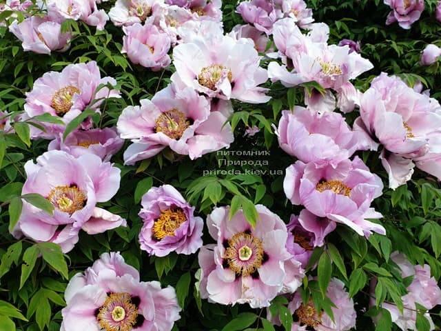 Півонія деревовидна (Paeonia) ФОТО Розплідник рослин Природа (25)