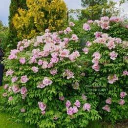 Пион древовидный (Paeonia) ФОТО Питомник растений Природа (26)