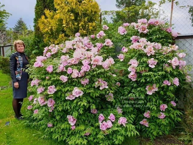 Півонія деревовидна (Paeonia) ФОТО Розплідник рослин Природа (26)