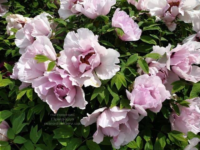 Пион древовидный (Paeonia) ФОТО Питомник растений Природа
