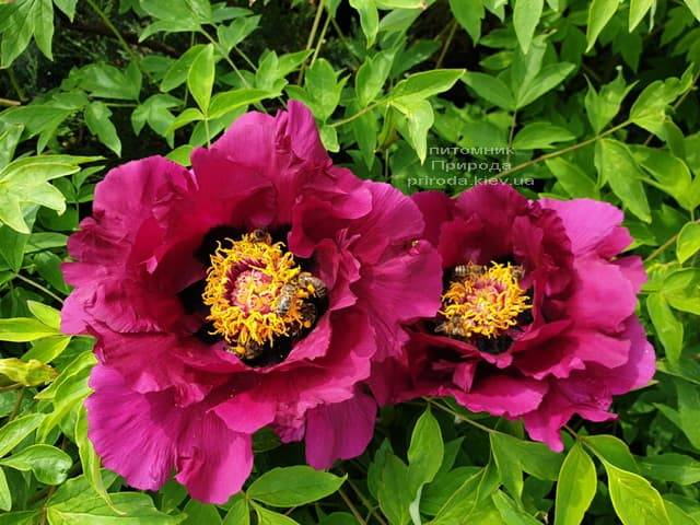 Пион древовидный (Paeonia) ФОТО Питомник растений Природа (29)