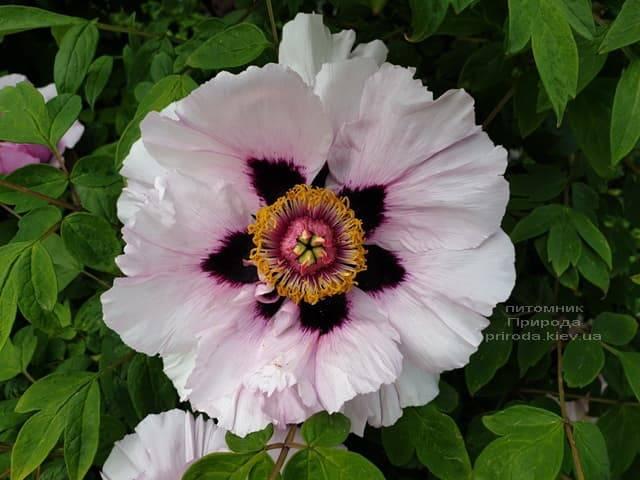 Півонія деревовидна (Paeonia) ФОТО Розплідник рослин Природа (30)