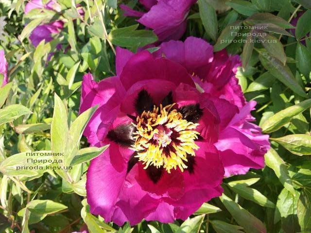 Півонія деревовидна (Paeonia) ФОТО Розплідник рослин Природа (32)