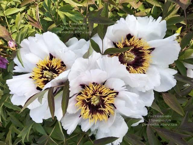 Півонія деревовидна (Paeonia) ФОТО Розплідник рослин Природа (33)