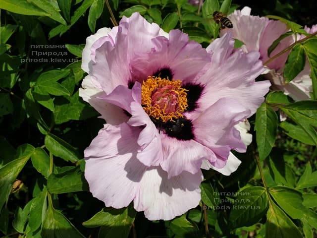 Пион древовидный (Paeonia) ФОТО Питомник растений Природа (44)