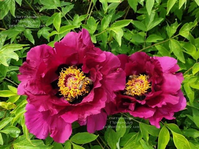 Пион древовидный (Paeonia) ФОТО Питомник растений Природа (45)