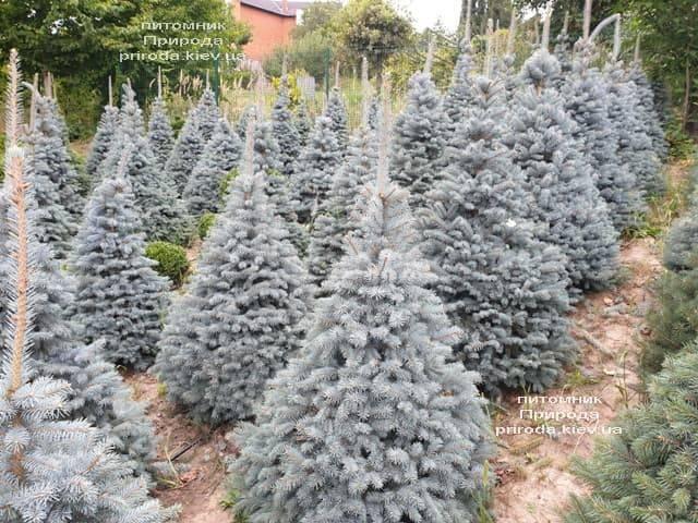 Ель колючая Глаука (Picea pungens Glauca) ФОТО Питомник растений Природа (48)