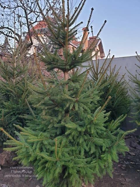Ель обыкновенная (европейская) (Pisea abies) ФОТО Питомник растений Природа (2)