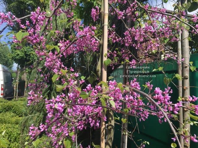 Церцис канадський Лавендер Твіст (Cercis canadensis Lavender Twist) ФОТО Розплідник рослин Природа (6)