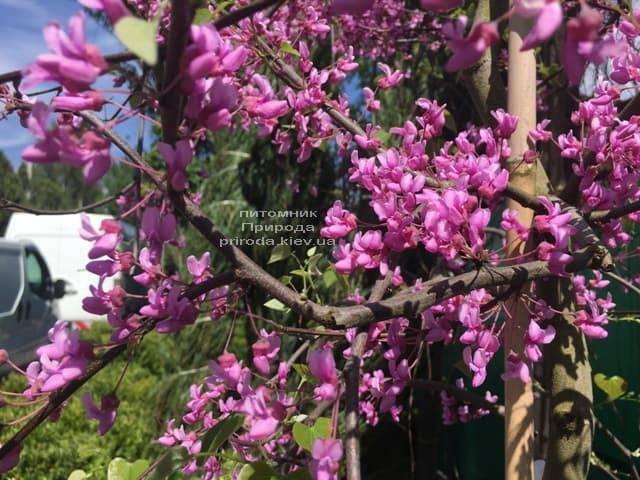Церцис канадський Лавендер Твіст (Cercis canadensis Lavender Twist) ФОТО Розплідник рослин Природа (7)