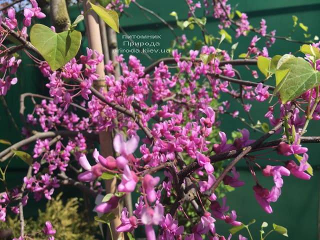 Церцис канадський Лавендер Твіст (Cercis canadensis Lavender Twist) ФОТО Розплідник рослин Природа (8)