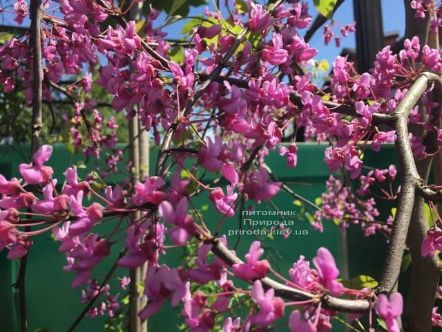 Церцис канадський Лавендер Твіст (Cercis canadensis Lavender Twist) ФОТО Розплідник рослин Природа (9)