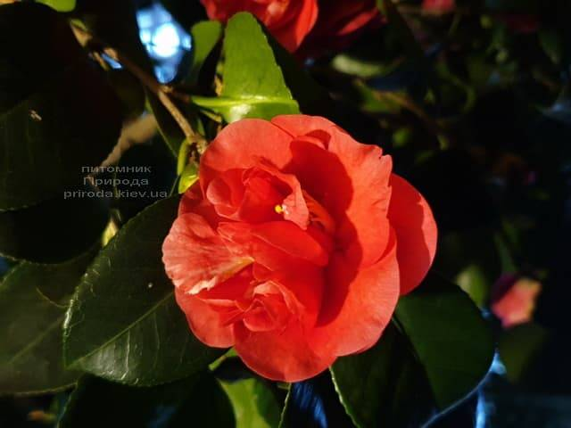 Камелия ФОТО Питомник растений Природа (10)