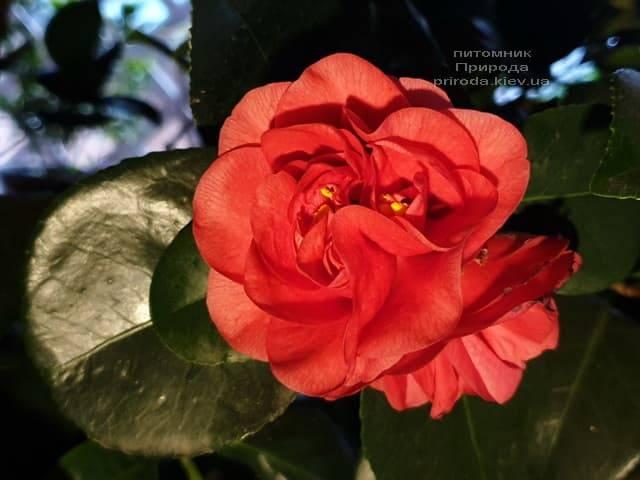 Камелия ФОТО Питомник растений Природа (11)