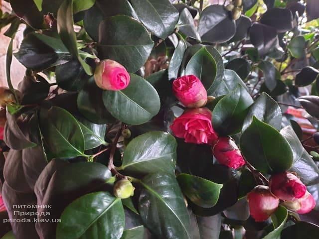 Камелия ФОТО Питомник растений Природа (8)