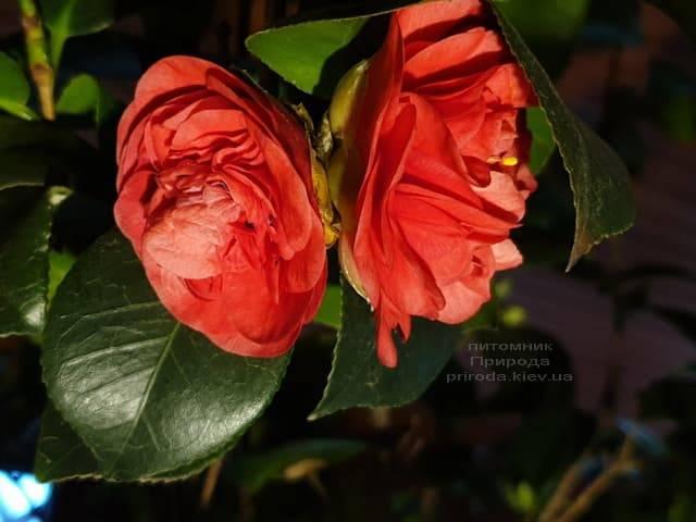 Камелия ФОТО Питомник растений Природа (9)