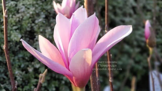 Магнолия Суланжа Галакси (Magnolia soulangeana Galaxy) ФОТО Питомник растений Природа (17)