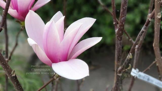 Магнолия Суланжа Галакси (Magnolia soulangeana Galaxy) ФОТО Питомник растений Природа (18)