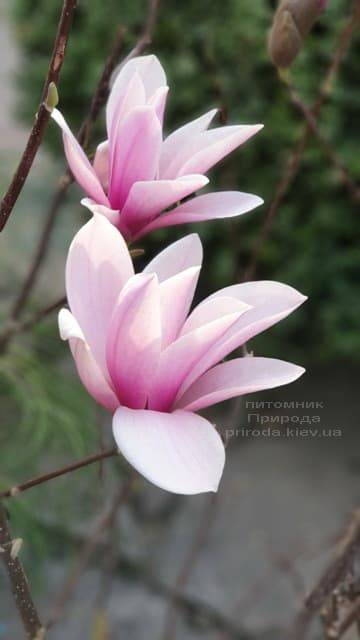Магнолия Суланжа Галакси (Magnolia soulangeana Galaxy) ФОТО Питомник растений Природа (5)