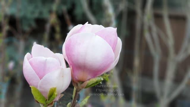 Магнолія Суланжа Ленней (Magnolia soulangeana Lennei) ФОТО Розплідник рослин Природа (12)