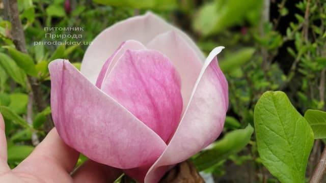 Магнолия Суланжа Ленней (Magnolia soulangeana Lennei) ФОТО Питомник растений Природа (20)