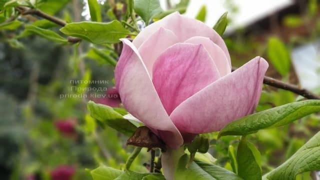 Магнолія Суланжа Ленней (Magnolia soulangeana Lennei) ФОТО Розплідник рослин Природа (23)