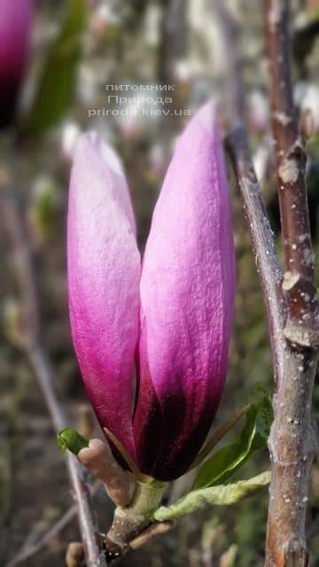 Магнолия Сюзан (Magnolia Susan) ФОТО Питомник растений Природа (Priroda) (9)