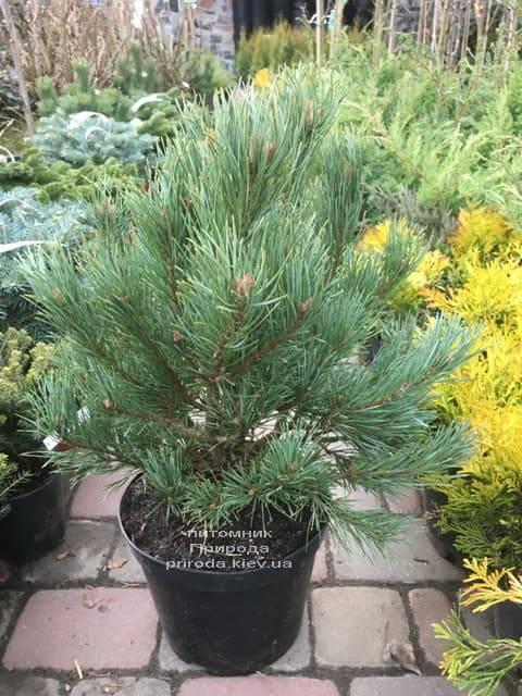 Сосна обыкновенная Ватерери (Pinus sylvestris Watereri) ФОТО Питомник растений Природа (16)