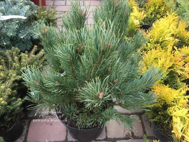 Сосна обыкновенная Ватерери (Pinus sylvestris Watereri) ФОТО Питомник растений Природа (17)