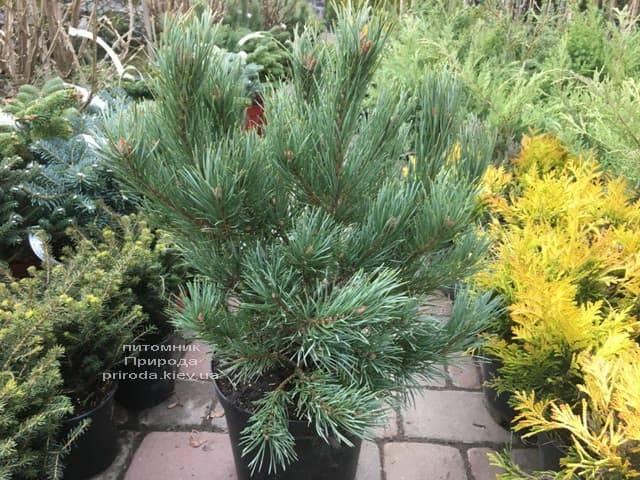 Сосна обыкновенная Ватерери (Pinus sylvestris Watereri) ФОТО Питомник растений Природа (18)