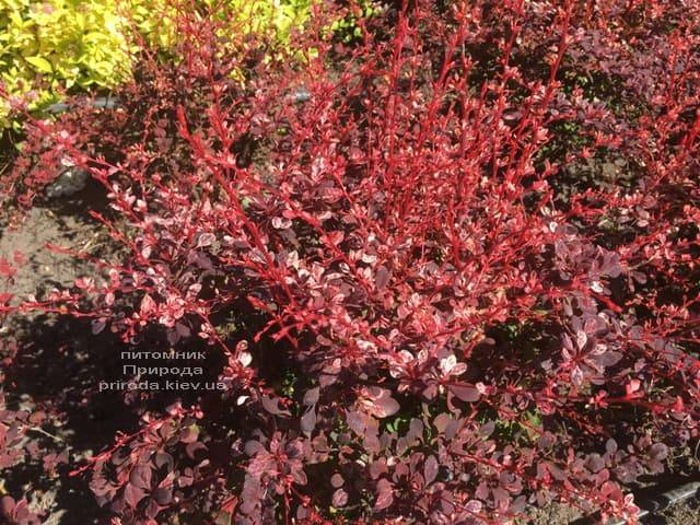 Барбарис Тунберга Арлекин (Berberis thunbergii Harleguin) ФОТО Питомник растений Природа (2)