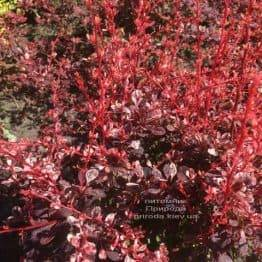 Барбарис Тунберга Арлекин (Berberis thunbergii Harleguin) ФОТО Питомник растений Природа (3)