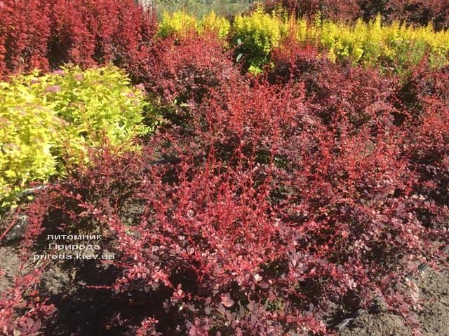 Барбарис Тунберга Арлекин (Berberis thunbergii Harleguin) ФОТО Питомник растений Природа (4)