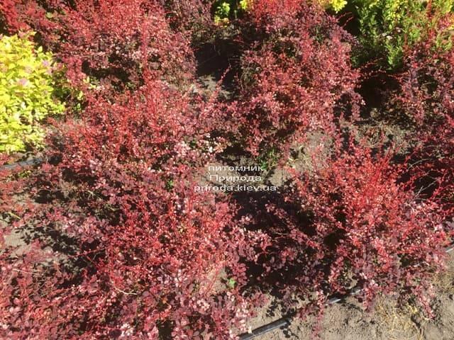 Барбарис Тунберга Арлекин (Berberis thunbergii Harleguin) ФОТО Питомник растений Природа (5)