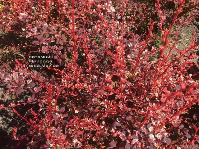 Барбарис Тунберга Арлекин (Berberis thunbergii Harleguin) ФОТО Питомник растений Природа (6)