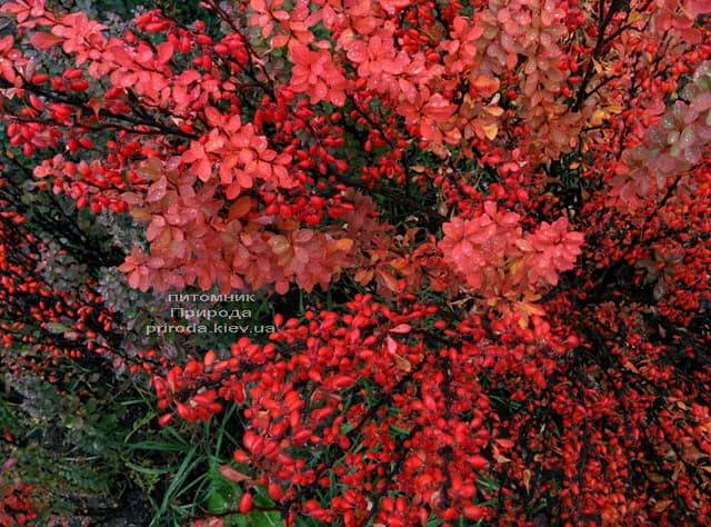 Барбарис Тунберга Эректа (Berberis thunbergii Erecta) ФОТО Питомник растений Природа (12)