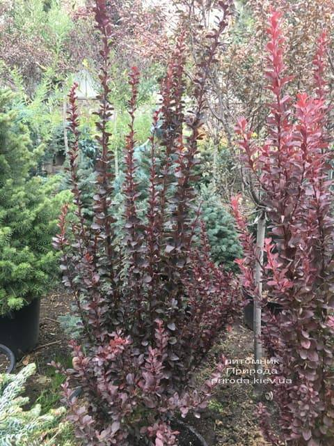 Барбарис Тунберга Рэд Рокет (Berberis thunbergii Red Rocket) ФОТО Питомник растений Природа (7)