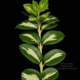 Бересклет Форчун Санспот (Euonymus fortunei Sunspot) на штамбі ФОТО Розплідник рослин Природа (2)