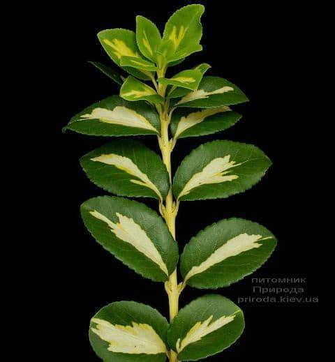 Бересклет Форчуна Санспот (Euonymus fortunei Sunspot) на штамбе ФОТО Питомник растений Природа (2)