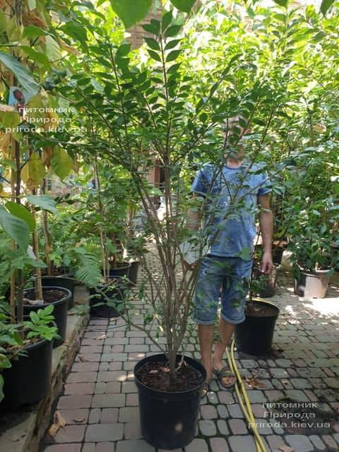 Бересклет крылатый (Euonymus alatus) ФОТО Питомник растений Природа (5)