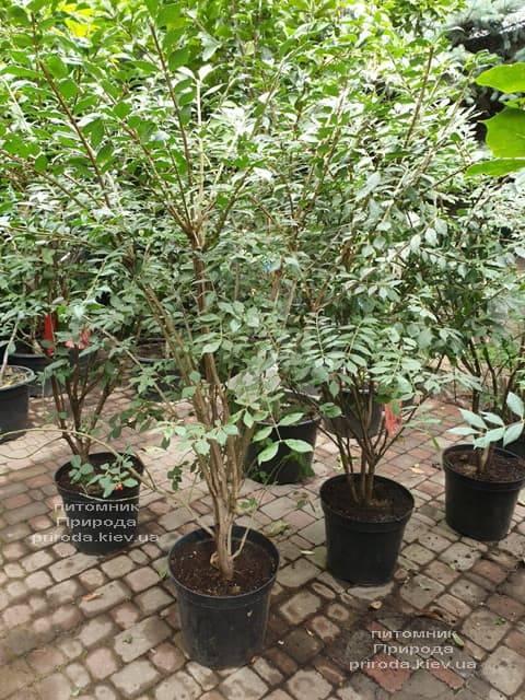 Бересклет крилатий (Euonymus alatus) ФОТО Розплідник рослин Природа (6)