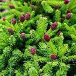 Ялина звичайна Пуш (Picea abies Pusch) ФОТО Розплідник рослин Природа (1)
