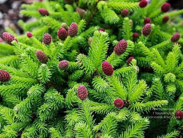 Ель обыкновенная Пуш (Picea abies Pusch) ФОТО Питомник растений Природа (1)