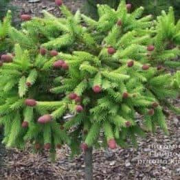 Ялина звичайна Пуш на штамбі (Picea abies Pusch) ФОТО Розплідник рослин Природа (2)
