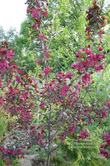 Яблуня декоративна Роялті (Malus Royalty) ФОТО Розплідник рослин Природа (13)