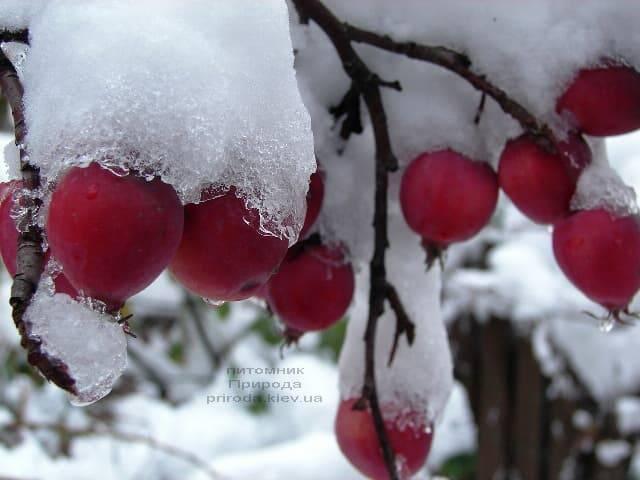 Яблоня райская декоративная Ола (Malus Ola) ФОТО Питомник растений Природа (1)