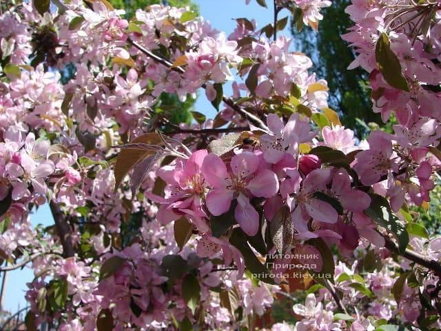 Яблоня райская декоративная Ола (Malus Ola) ФОТО Питомник растений Природа (10)