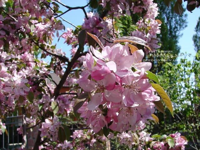 Яблоня райская декоративная Ола (Malus Ola) ФОТО Питомник растений Природа (11)